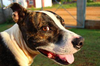 Amerikai pitbull terrier erős sokoldalú és imádja az embereket 343x228 - Amerikai pitbull terrier - erős, sokoldalú és imádja az embereket