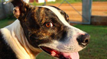 Amerikai pitbull terrier erős sokoldalú és imádja az embereket 360x201 - Amerikai pitbull terrier - erős, sokoldalú és imádja az embereket