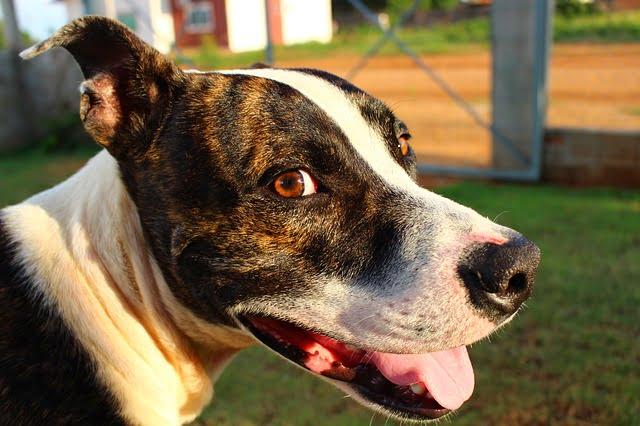 Amerikai pitbull terrier erős sokoldalú és imádja az embereket - Amerikai pitbull terrier - erős, sokoldalú és imádja az embereket