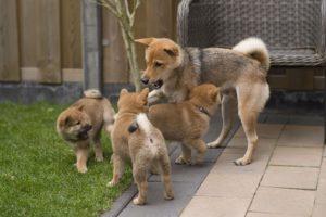 Japán kutya nevek 130 jópofa kutyanév és jelentésük 300x200 -