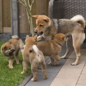Japán kutya nevek 130 jópofa kutyanév és jelentésük 300x300 - Japán kutya nevek - 130 jópofa kutyanév és jelentésük