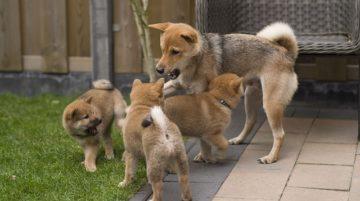 Japán kutya nevek 130 jópofa kutyanév és jelentésük 360x201 - Japán kutya nevek - 130 jópofa kutyanév és jelentésük
