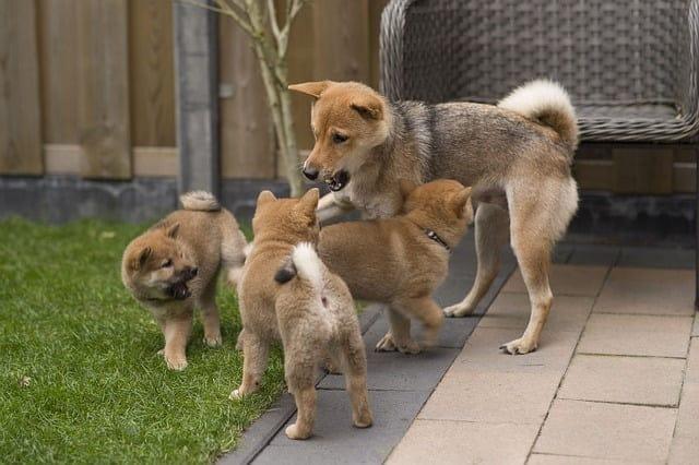 Japán kutya nevek 130 jópofa kutyanév és jelentésük - Japán kutya nevek - 130 jópofa kutyanév és jelentésük
