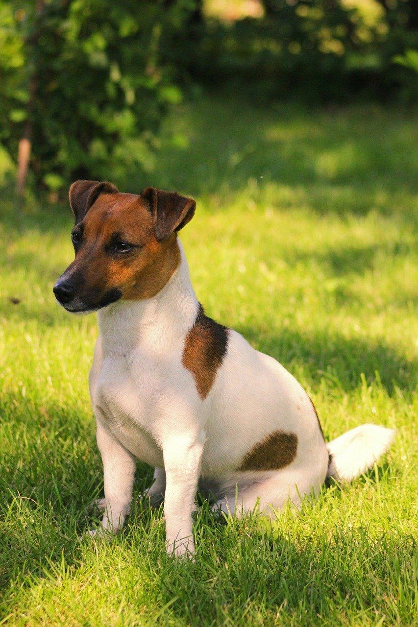A Jack Russell Terrier jellemzői - Jack Russell Terrier - az energikus szőrpamacs