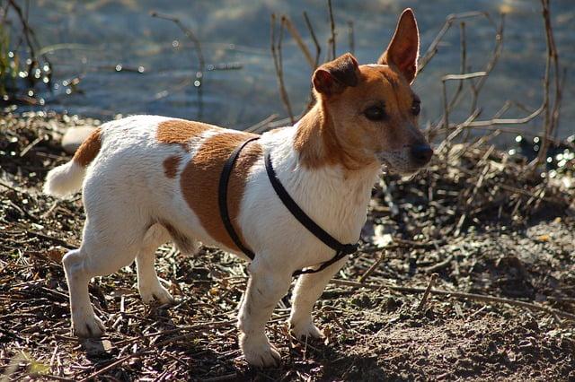 A Jack Russell Terrier története - Jack Russell Terrier - az energikus szőrpamacs