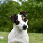 Jack Russell Terrier az energikus szőrpamacs 150x150 -