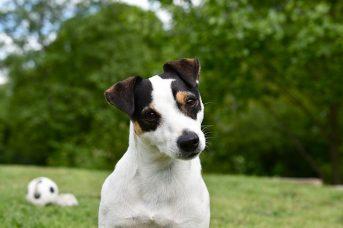 Jack Russell Terrier az energikus szőrpamacs 343x228 - Jack Russell Terrier - az energikus szőrpamacs