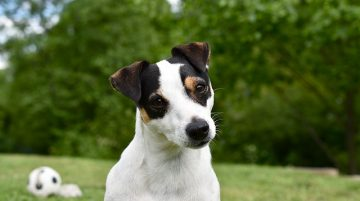 Jack Russell Terrier az energikus szőrpamacs 360x201 - Jack Russell Terrier - az energikus szőrpamacs