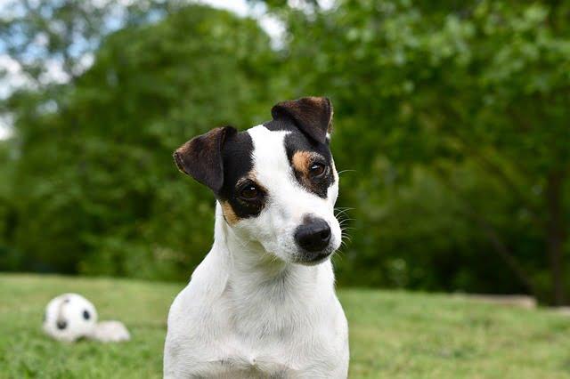 Jack Russell Terrier az energikus szőrpamacs - Jack Russell Terrier - az energikus szőrpamacs