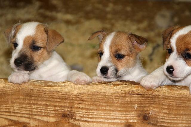 Jack Russell Terrier gondozása - Jack Russell Terrier - az energikus szőrpamacs