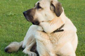 Anatoliai juhaszkutya a higgadt es kiegyensulyozott kutyafajta 272x182 -