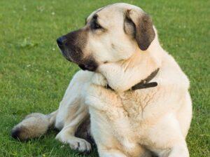 Anatoliai juhaszkutya a higgadt es kiegyensulyozott kutyafajta 300x224 - Anatóliai juhászkutya - a higgadt és kiegyensúlyozott kutyafajta!