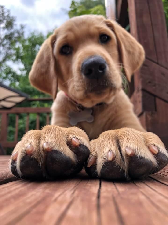 Labrador retriever kepek  - Labrador retriever – a játékos és vidám kutyafajta