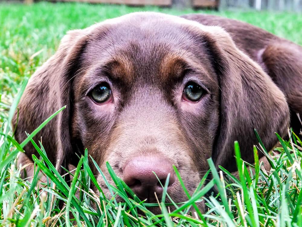 Labrador retriever kepek 1 - Labrador retriever – a játékos és vidám kutyafajta