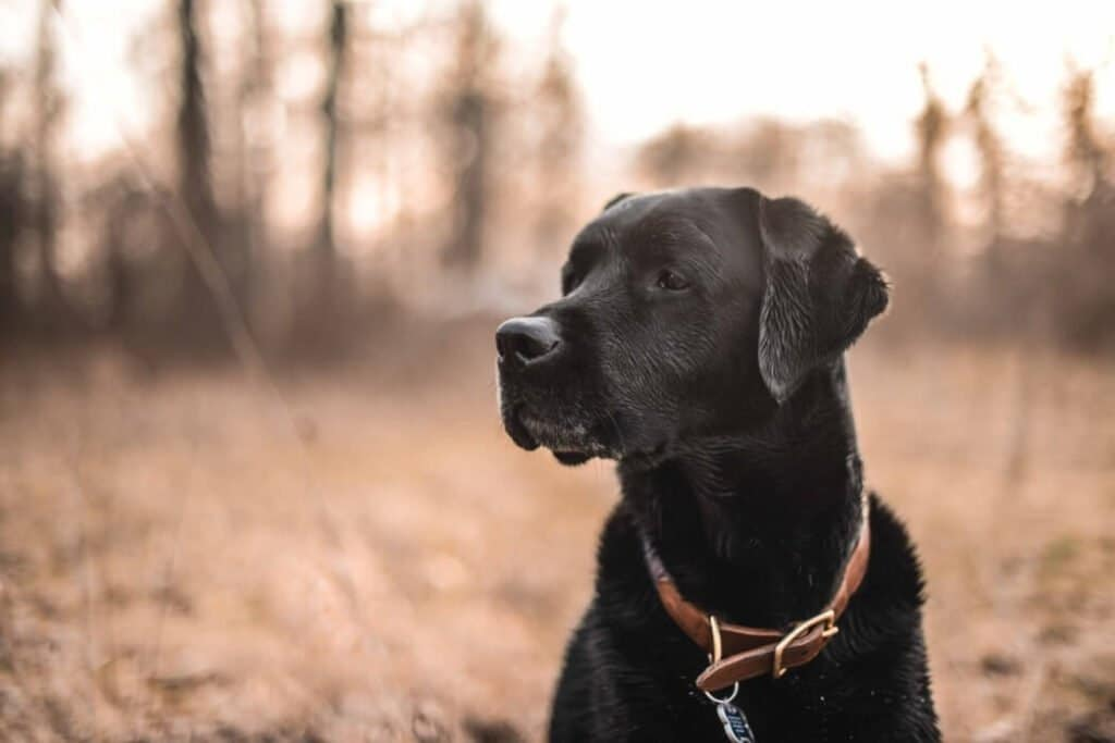 Labrador retriever kepek 1024x683 - Labrador retriever – a játékos és vidám kutyafajta