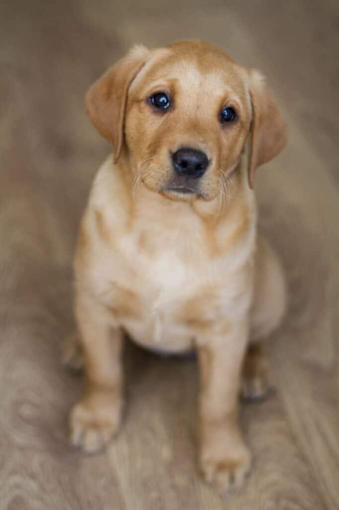 Labrador retriever kepek kolyokkutya 682x1024 - Labrador retriever – a játékos és vidám kutyafajta