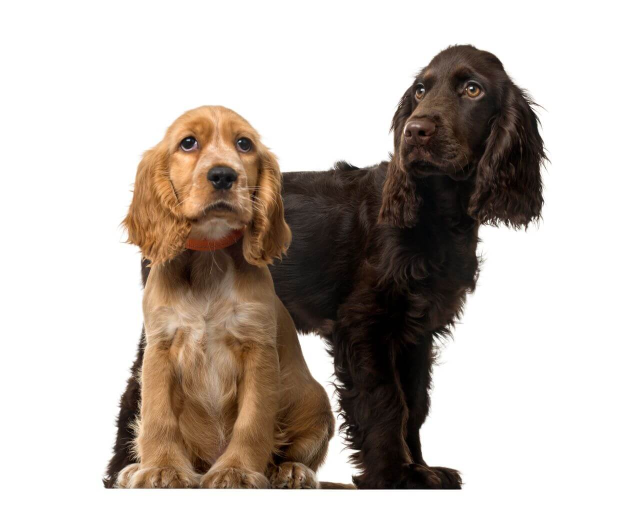 Ha kutya, akkor csakis spániel! - Index Fórum